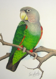 Eric Peake Collection of Parrot Original Watercolour